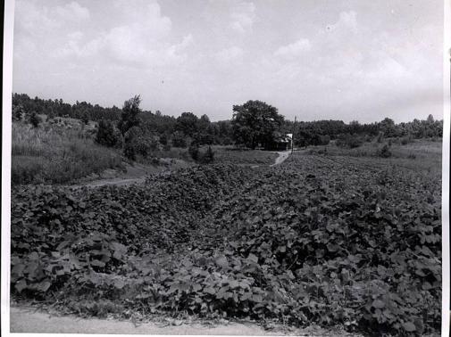 kudzu in 1956 in gully_001.jpg
